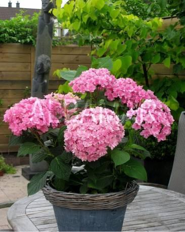 Hortensja ogrodowa 'Together' Hortensja macrophylla