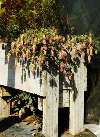 Lebiodka okrągłolistna 'Kent Beauty' Origanum rotundifolium