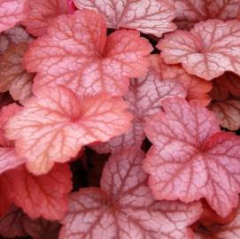 Żurawka 'Georgia Peach' Heuchera