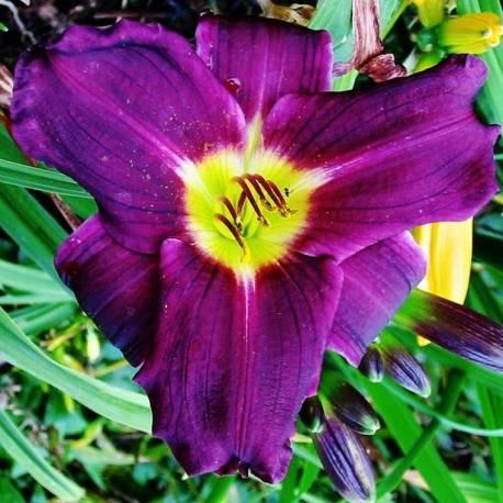 Liliowiec 'Grape Velvet'