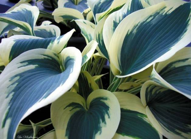 Funkia 'Blue Ivory' Hosta