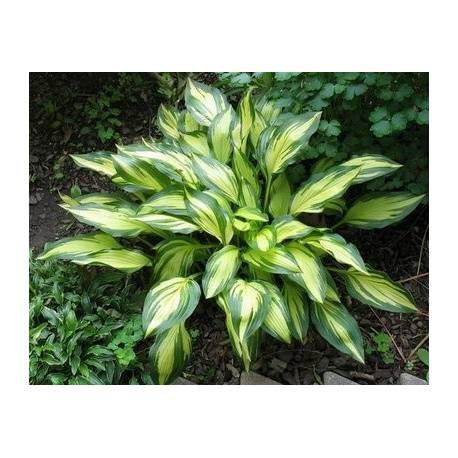 Funkia 'Cherry Berry' Hosta