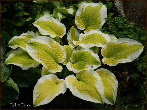 Funkia 'Delta Dawn' Hosta