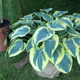 Funkia 'First Frost' Hosta