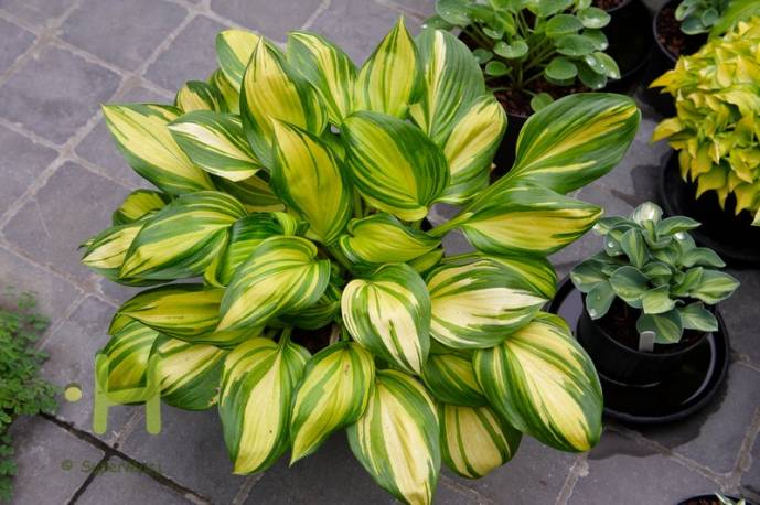 Funkia 'Rainbow's End' Hosta