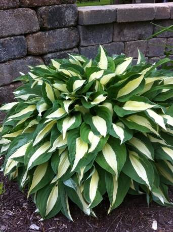 Funkia 'Risky Business' Hosta