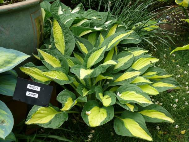 Funkia 'Gypsy Rose ' Hosta