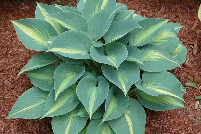 Funkia 'Grand Marquee' Hosta