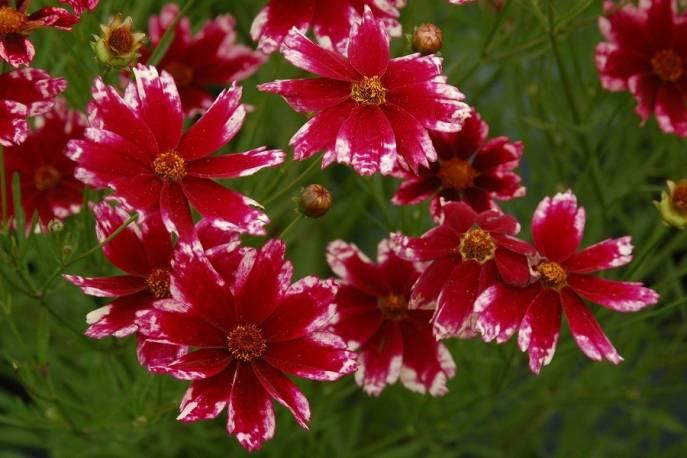 Nachyłek okółkowy 'Ruby Frost' Coreopsis verticilata