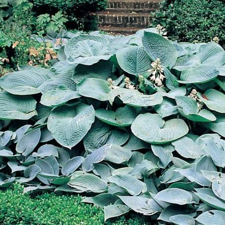 Funkia 'Big Daddy' Hosta