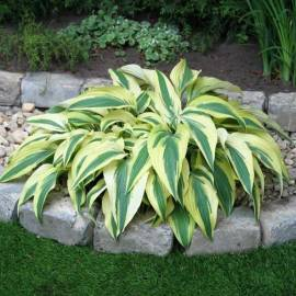 Funkia 'Lakeside Dragonfly' Hosta