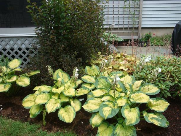 Funkia 'Color Glory' Hosta