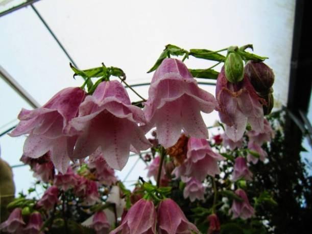 Dzwonek kropkowany 'Pantaloons' Campanula punctata