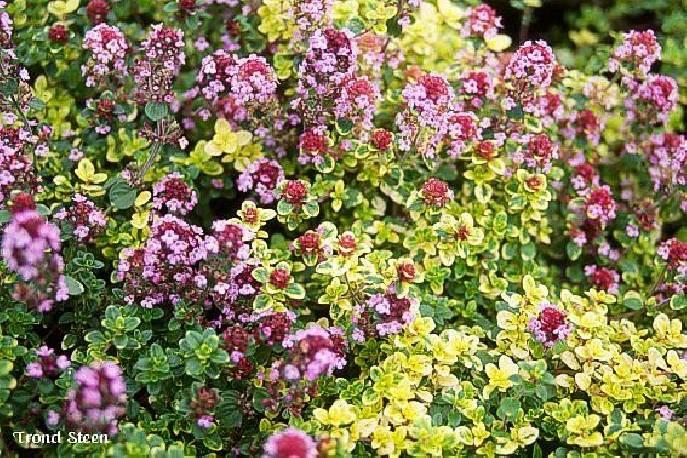 Macierzanka cytrynowa 'Doone Valley' Thymus x citriodorus