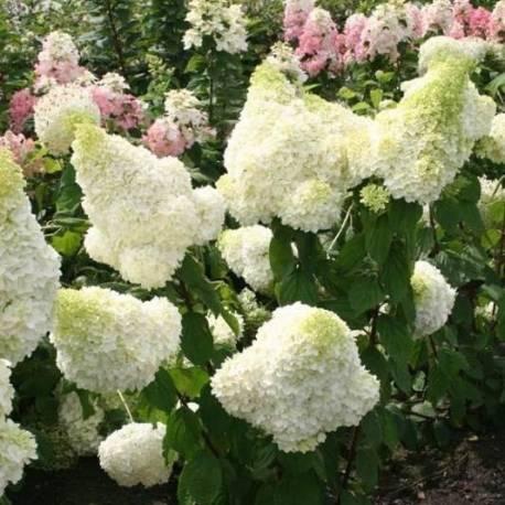 Hortensja bukietowa 'Polar Bear' Hydrangea paniculata
