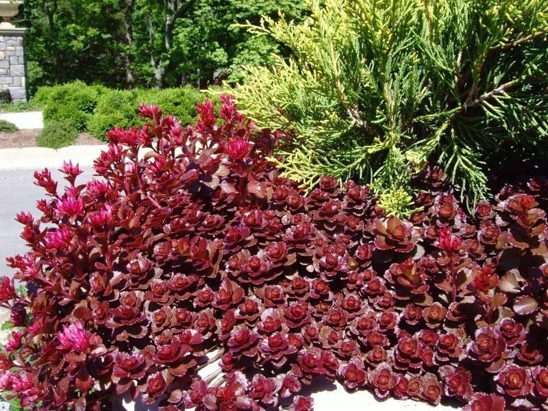Rozchodnik Kaukaski Voodoo Sedum Spurium Albamar