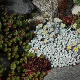 Rozchodnik łopatkowaty 'Cape Blanco' Sedum spathulifolium