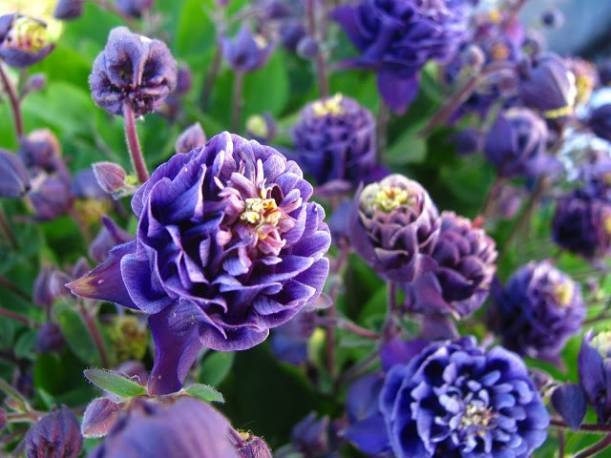 Orlik pospolity 'Winky Blue and White Double' Aquilegia vulgaris