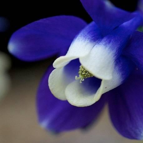 Orlik wachlarzowaty 'Mini Star' Aquilegia flabellata