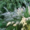 Trzcinnik krótkowłosy Calamagrostis brachytricha
