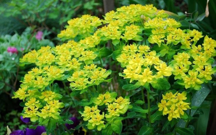 Wilczomlecz złocisty Euphorbia polychroma