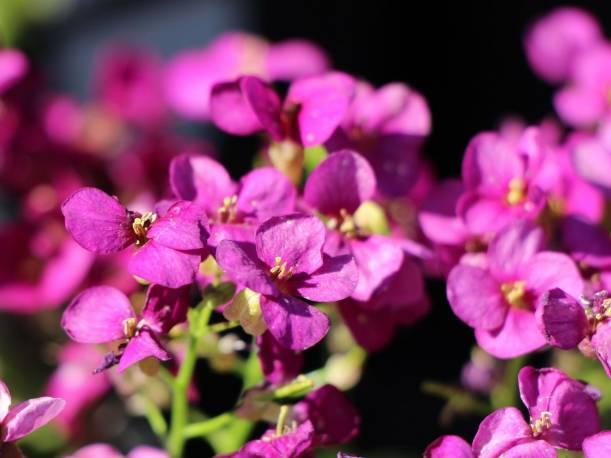Gęsiówka kaukaska 'Little Treasure Deep Rose' Arabis caucasica