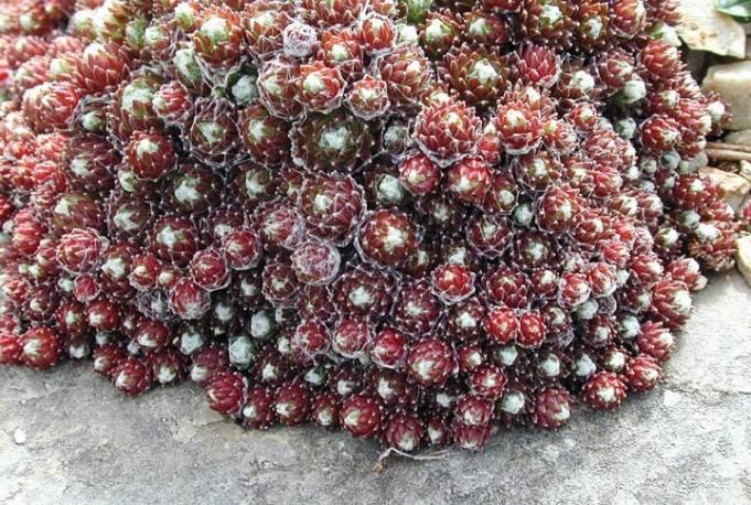 Rojnik pajęczynowaty 'Rubrum' Sempervivum arachnoideum