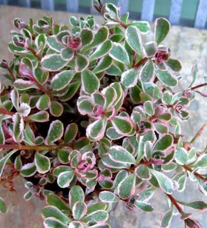 Rozchodnik kaukaski 'Tricolor' Sedum spurium