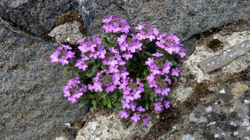Erynus alpejski 'Dr Hahnle' Erinus alpinus
