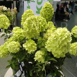 Hortensja bukietowa 'Magical Candle' Hydrangea paniculata