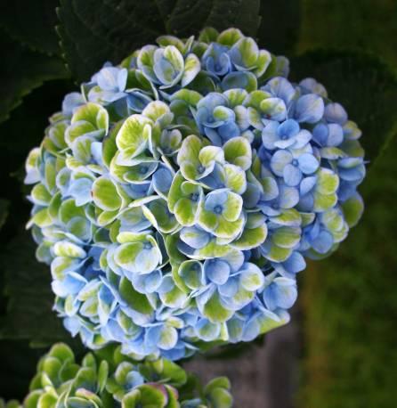 Hortensja ogrodowa 'Magical Revolution' Hydrangea macrophylla