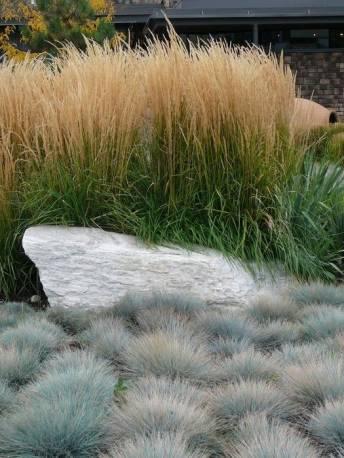 Trzcinnik ostrokwiatowy 'Karl Foerster' Calamagrostis