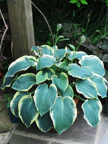 Funkia 'Nothern Exposure' Hosta