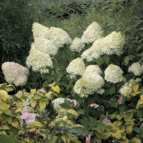 Hortensja bukietowa 'Diamantino' Hydrangea paniculata