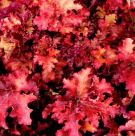 Żurawka 'Zipper' Heuchera