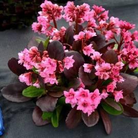 Bergenia sercolistna 'Flirt' Bergenia cordifolia