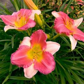 Liliowiec 'Final Touch' Hemerocallis