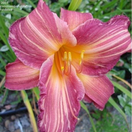 Liliowiec 'Pink Stripes'