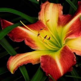 Liliowiec 'Mike Red' Hemerocallis