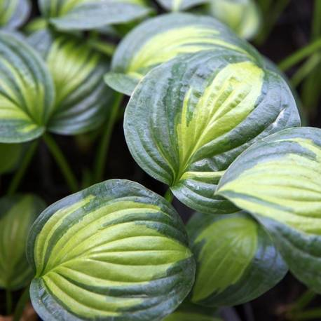 Funkia 'Adorable' Hosta