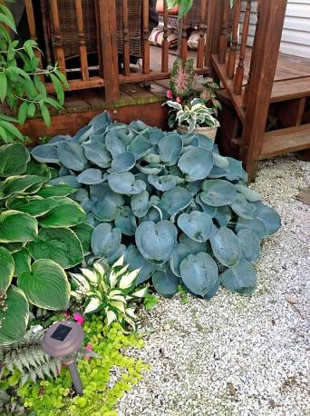 Funkia 'Love Pat' Hosta