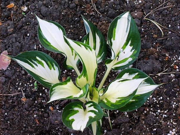 Funkia 'Fire and Ice' Hosta