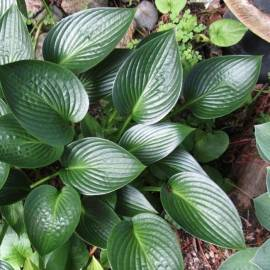 Funkia 'Devon Green' Hosta