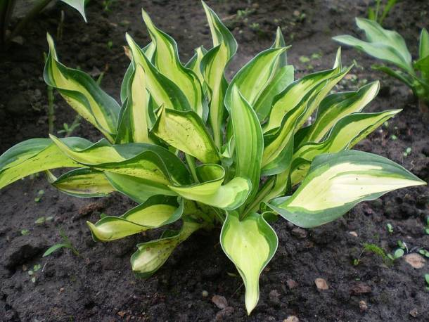 Funkia 'Lakeside Little Tuft' Hosta