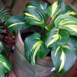 Funkia 'Emerald Charger' Hosta