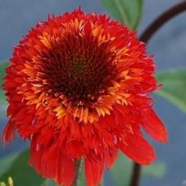 Jeżówka 'Cinnamon Cupcake' Echinacea