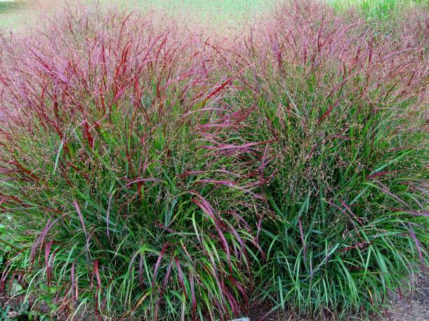 Proso rózgowate 'Squaw' Panicum virgatum