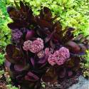 Rozchodnik wielki 'Chocolate Drop' Sedum telephium