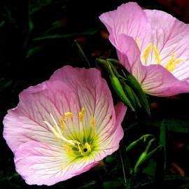 Wiesiołek okazały 'Siskiou Pink' Oenothera speciosa