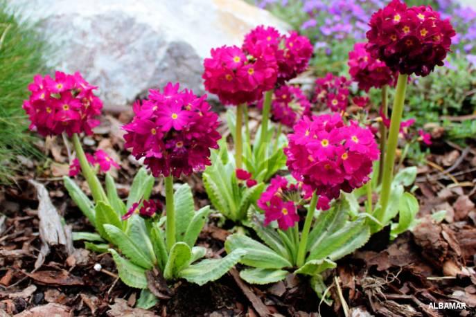 Pierwiosnek ząbkowany 'Rubin' Primula denticulata